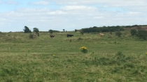 Some cows that live in Murlough